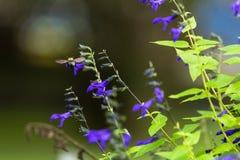 Salvia púrpura Foto de archivo libre de regalías