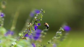 Salvia púrpura Fotos de archivo
