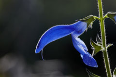 Salvia patens. A closeup of a single flower of a Salvia patens royalty free stock image