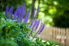Salvia plant. A salvia plant in the garden near a fence Stock Photography