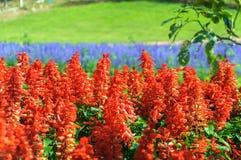 Salvia Plant Floral immagine stock libera da diritti