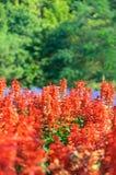 Salvia Plant Floral fotografia stock libera da diritti