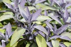 Salvia porpora Fotografia Stock Libera da Diritti