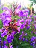 Salvia porpora alla luce solare di estate fotografie stock