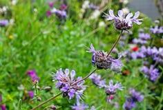 Salvia Pozo Blue Grey Musk Sage Arkivfoton