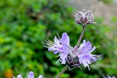 Salvia Pozo Blue Grey Musk Sage Arkivfoto