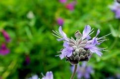 Salvia Pozo Blue Grey Musk Sage Royaltyfri Bild