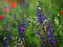 Salvia pratensis, ängclaryen Fotografering för Bildbyråer
