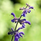Salvia pratensis Royalty Free Stock Photo