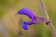 Salvia pratensis Royaltyfria Bilder