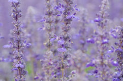 Salvia pratensis Royalty Free Stock Photo