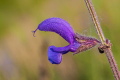 Salvia pratensis Royalty Free Stock Images