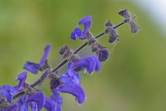 Salvia pratensis or meadow clary Stock Photo