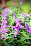Salvia pretty purple flowers and bright colors in nature. Royalty Free Stock Images