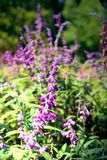Salvia pretty purple flowers and bright colors in nature. Royalty Free Stock Photos