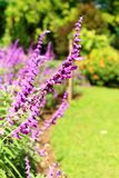 Salvia pretty purple flowers and bright colors in nature. Royalty Free Stock Photo