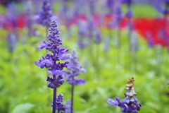 Salvia pretty purple flowers and bright colors in nature. Stock Images