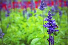 Salvia pretty purple flowers and bright colors in nature. Stock Image