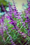 Salvia pretty purple flowers and bright colors in nature. Royalty Free Stock Image