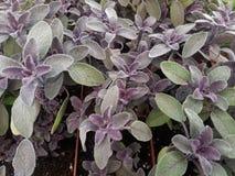 Salvia prudente roxo das ervas imagem de stock royalty free