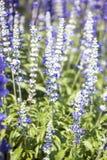 Salvia purpere bloemen Royalty-vrije Stock Afbeeldingen