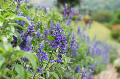 Salvia Royalty Free Stock Photo