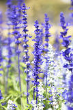 Salvia purple flowers Stock Photo