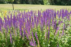 Salvia purple flowers in the summer Royalty Free Stock Images