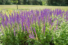 Salvia purple flowers in the summer Royalty Free Stock Photos