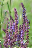 Clary Sage Salvia sclarea. Salvia, purple summer flower of meadow sage plant background, woodland sage, balcan clary royalty free stock photography