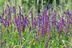 Clary Sage Salvia sclarea. Salvia, purple summer flower of meadow sage plant background, woodland sage, balcan clary royalty free stock photos