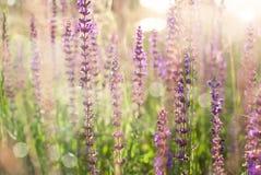 Salvia. Purple wild flowers in sunlight stock image