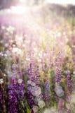 Salvia. Purple wild flowers in sunlight royalty free stock image