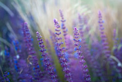 Salvia Royalty Free Stock Images