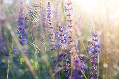 Salvia Stock Photography