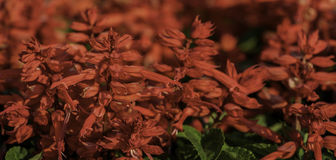Salvia red flower Stock Images