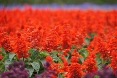Salvia rojo en las flores granja, Sapporo Foto de archivo libre de regalías