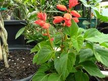 Salvia rosso con le foglie verdi Fotografie Stock
