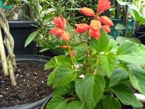 Salvia rosso con le foglie verdi Fotografia Stock Libera da Diritti