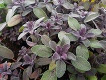 Salvia sabio púrpura de las hierbas imágenes de archivo libres de regalías