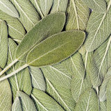Salvia (sage, also called garden sage, or common sage). Salvia leaves (sage, also called garden sage, or common sage), background Stock Images
