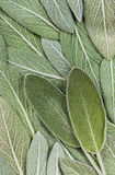 Salvia (sage, also called garden sage, or common sage) Royalty Free Stock Photo