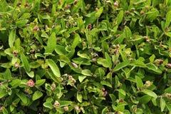 Salvia (sage) background Stock Photo