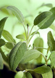 Salvia (sage) Royalty Free Stock Image