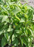 Salvia or sage green plant mint family widely used for cooking stock photo