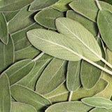 Salvia (salie, ook genoemd tuinsalie, of gemeenschappelijke salie) stock fotografie