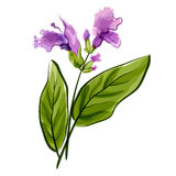 Salvia. Salie. Vectorillustratie Royalty-vrije Stock Foto's