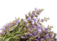 (Salvia sclarea) 图库摄影