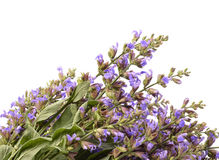 (Salvia sclarea) Stock Photography