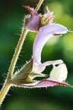 Salvia sclarea Royalty Free Stock Photos